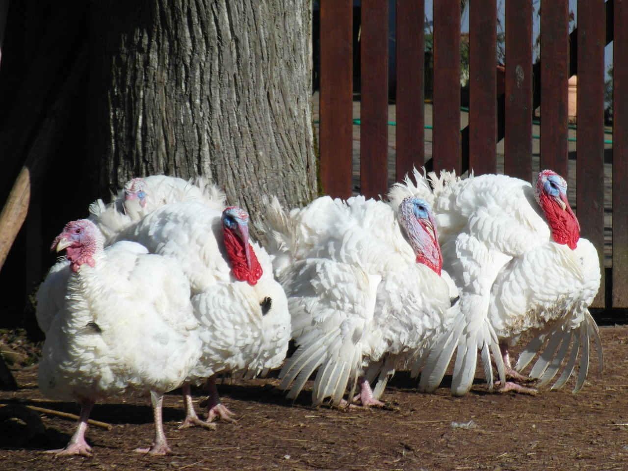 Farm turkey