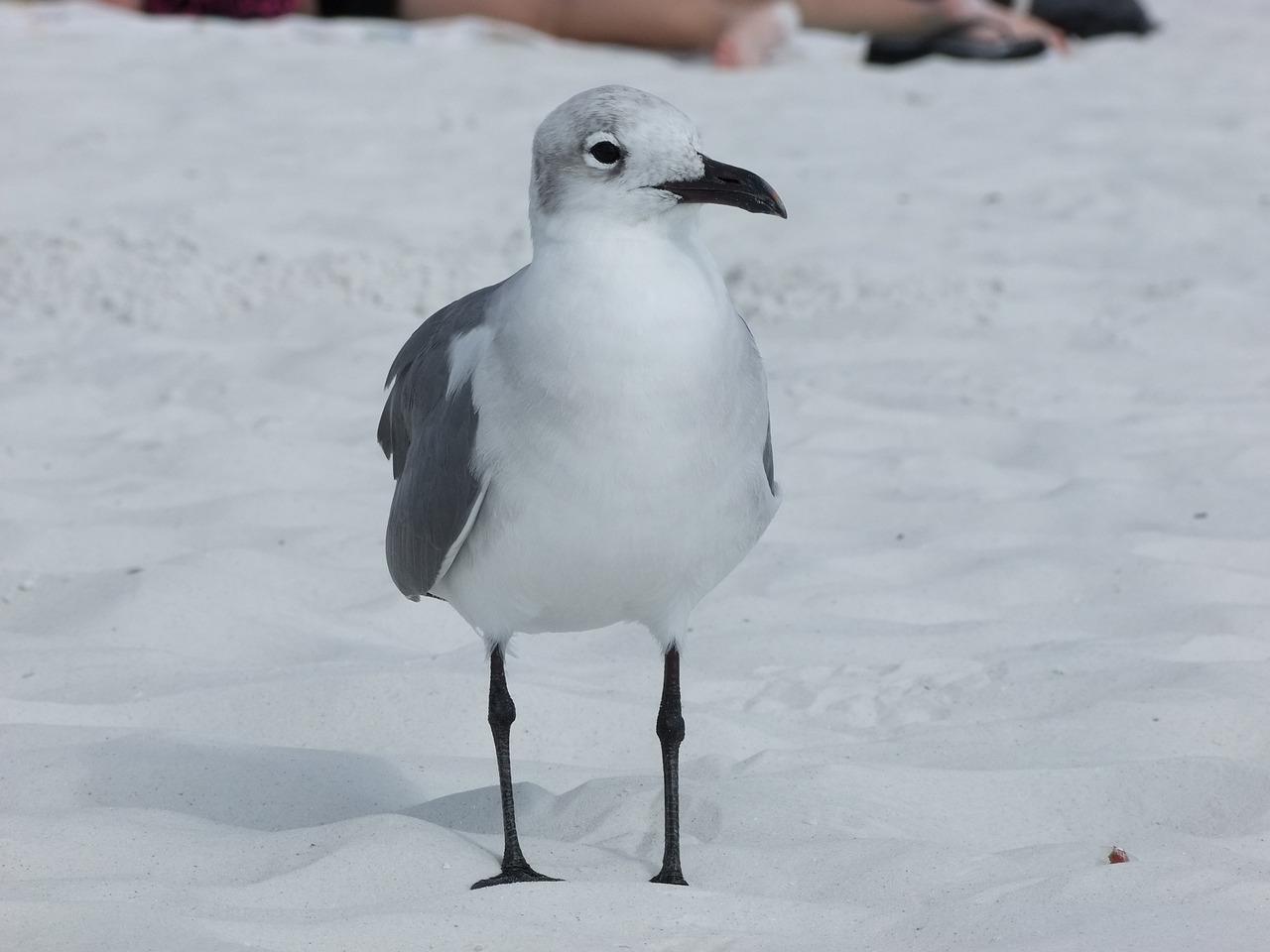 the seagull ang tagak Ang mandaragit na seagull, at ang kamatayan ng gayong unibersal ang himig ng mga at magandang imaheng hindi ko pinakawalan ang mga tagak.