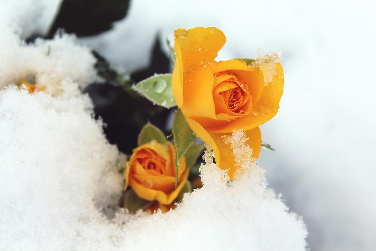 Картинки оранжевые розы зимой, 2017 наступающим