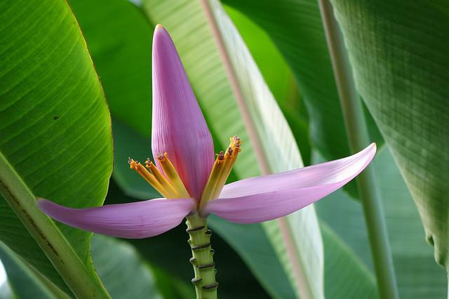 Purple Bud Banana, 蓮 Flower Banana