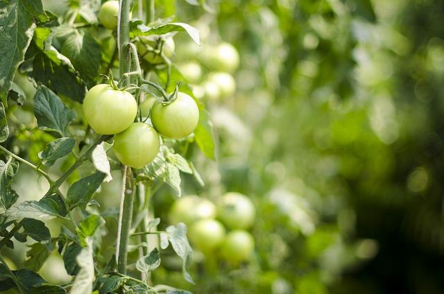 Eggplant 400-08373800, 400-08373801, 400-08373802