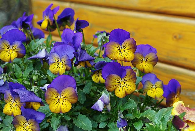 Spring, Pansy, 400–500, Flower, Flora, Colorful