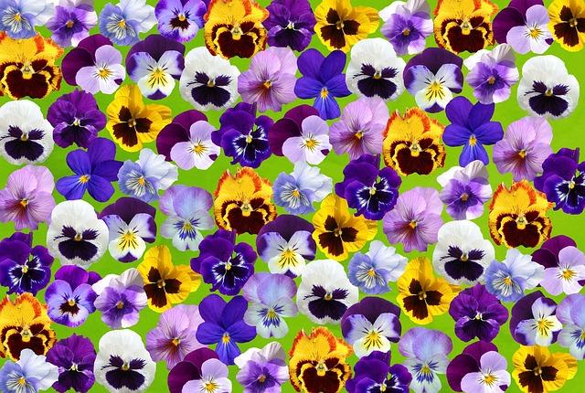 Spring, Pansy, 400–500, Flower, Violaceae