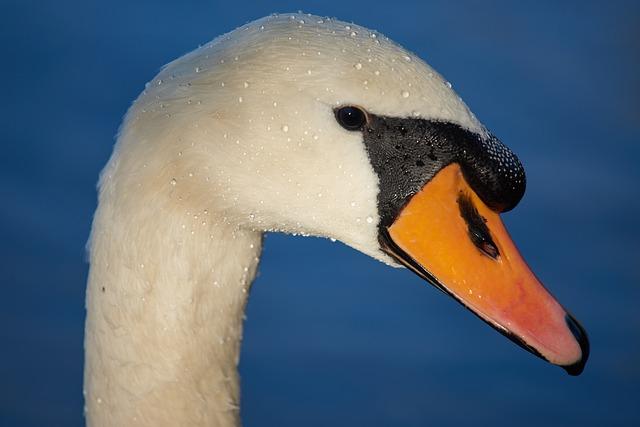 Swan, Bird, A, Waters, Water, Swim, Bill, Animal World