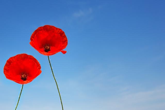 A Couple Of Poppy Flowers, Poppy, Poppy Flower