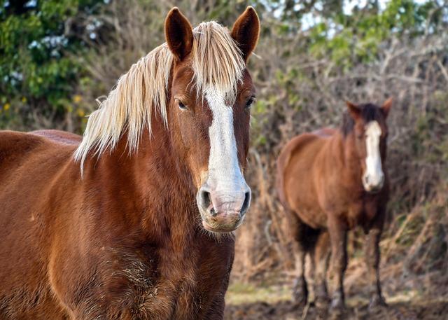 Horse Breton, Equine, Animal, Field, A Workhorse
