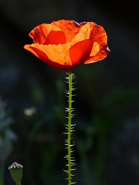 Poppy, Ababol, Rosella, Backlight, Beauty