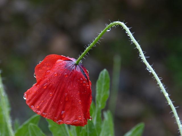 Poppy, Wet, Rain, Drops, Ababol
