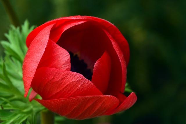 Red, Blossom, Bloom, Poppy, Poppy Flower, Bright, About
