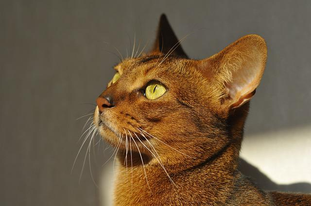 Cat, Abyssinian, Muzzle Cat, Koshkiabissintsy
