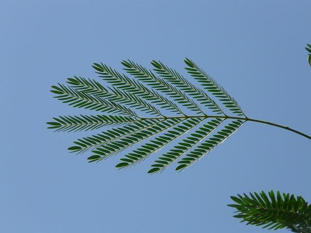 Leaf, Wedel, Acacia, Acacia Karroo, Green, Blue