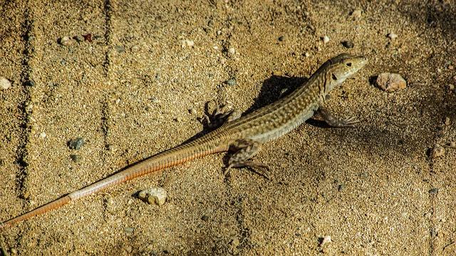 Acanthodactylus Schreiberi, Lizard, Reptile, Cyprus