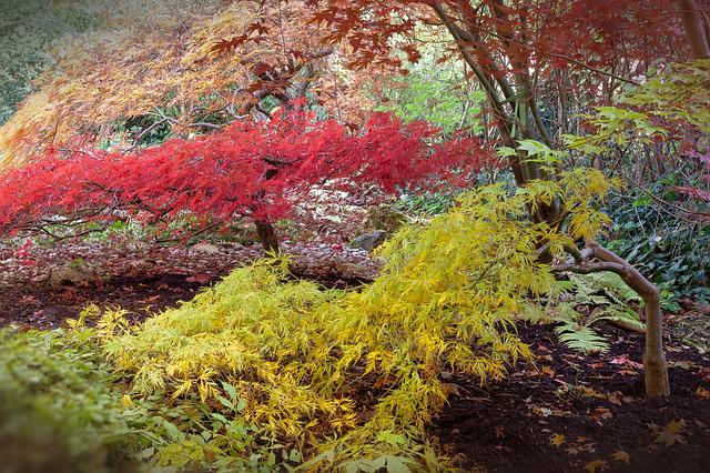 Japanese Maple, Acer Japonicum, Do Bergs Fan-maple