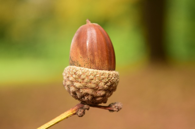 Acorn, Close, Background, Beautiful, Autumn, Nature