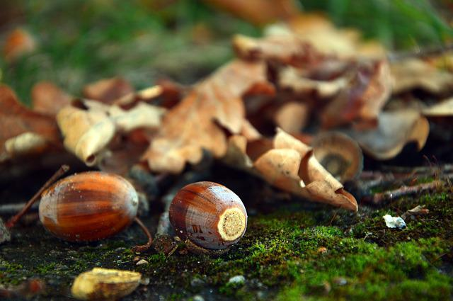 Acorns, Fruits, Oak Fruit, Oak Leaves, Leaves, Autumn
