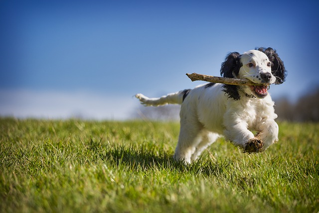 Fetch, Stick, Puppy, Dog, Action, Animal, Playing