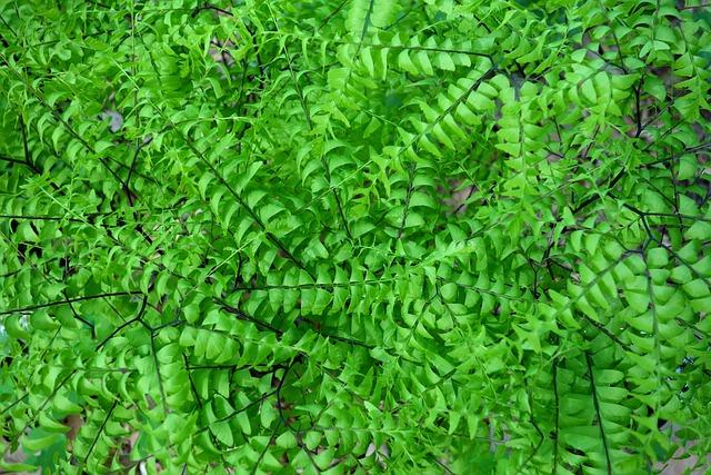 Adiantum Pedatum, Northern Maidenhair Fern