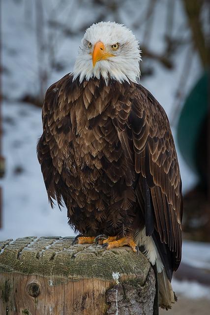 Bald Eagle, Adler, Bird Of Prey, Raptor, Falconry, Bird