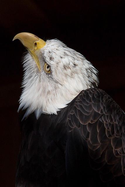 Adler, Bald Eagle, Bird, Bird Of Prey, Raptor, Bill