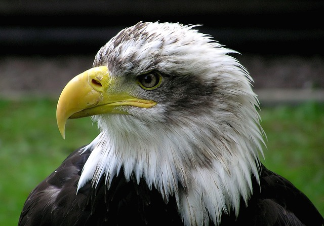 Bald Eagle, Adler, Raptor, Bird, Coat Of Arms Of Bird