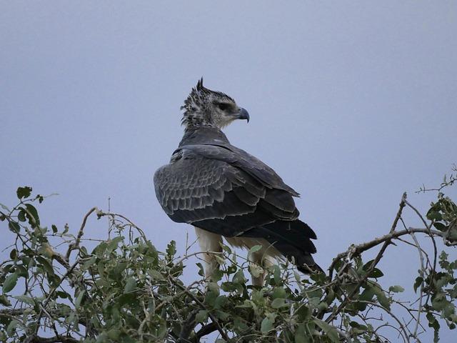 Adler, Martial Eagle, Young Animal, Raptor