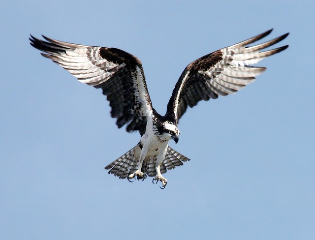 Osprey, Adler, Bird Of Prey, Raptor, Bird