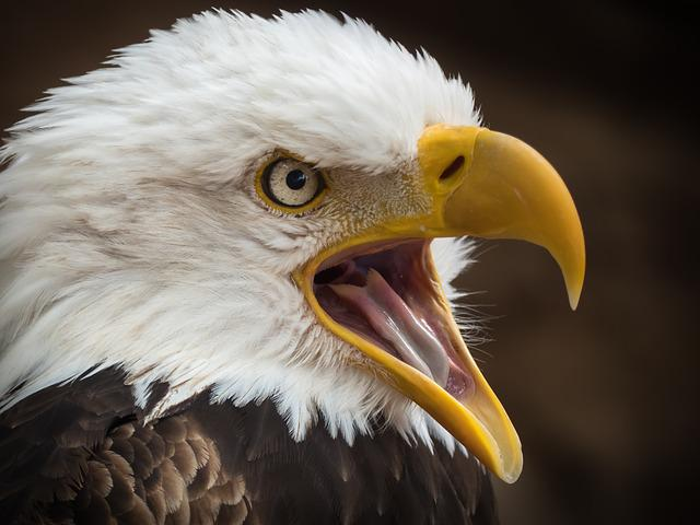 Adler, White Tailed Eagle, Raptor, Bird Of Prey