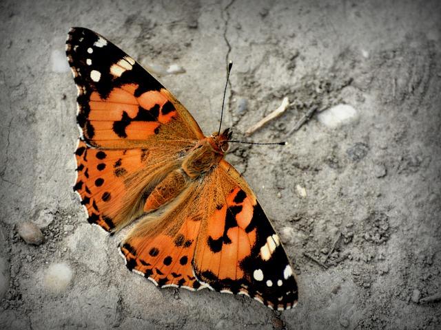 Butterfly, Admiral Butterfly, Vanessa Atalanta