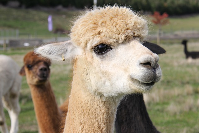 Adorable, Alpacas, Lavender, Farm, Beautiful