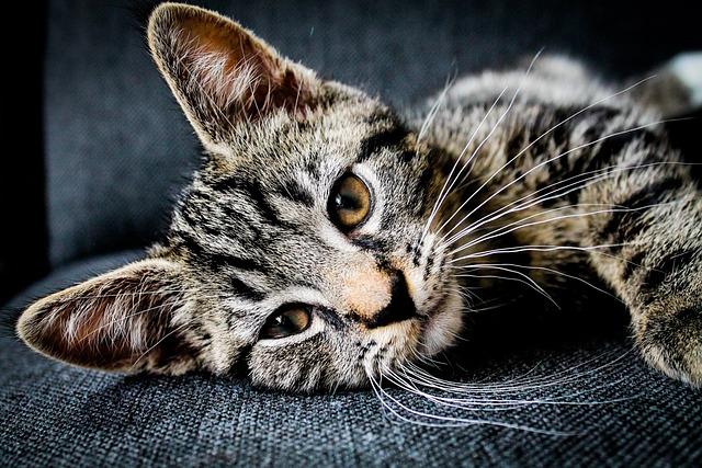 Adorable, Animal, Cat, Feline, Pet, Whiskers