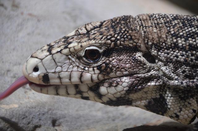Lizard, Tongue, Animal, Africa