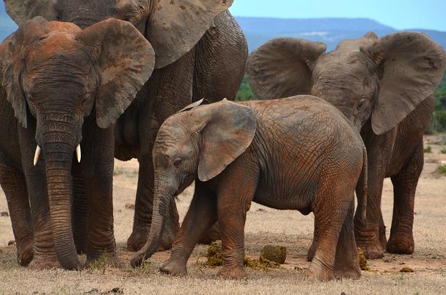 Africa, Baby Elephant, African Bush Elephant