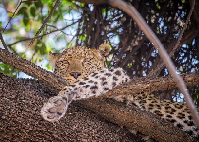 Leopard, Tree, Female, Resting, Botswana, Africa