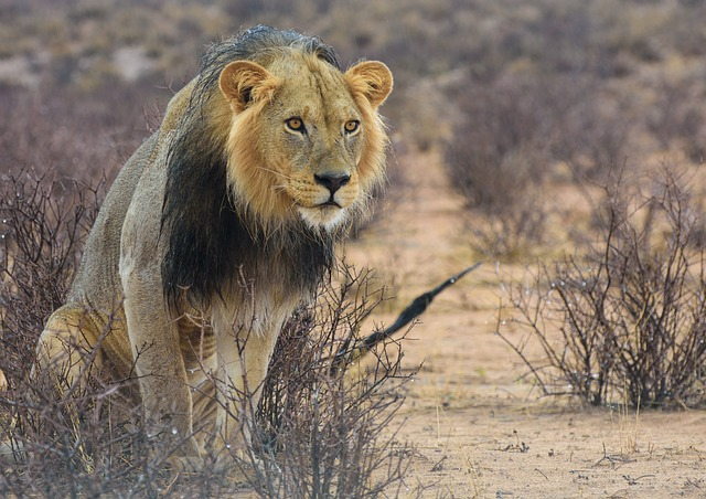 Lion, Africa, Kalahari, Safari, Predator, Namibia, Cat