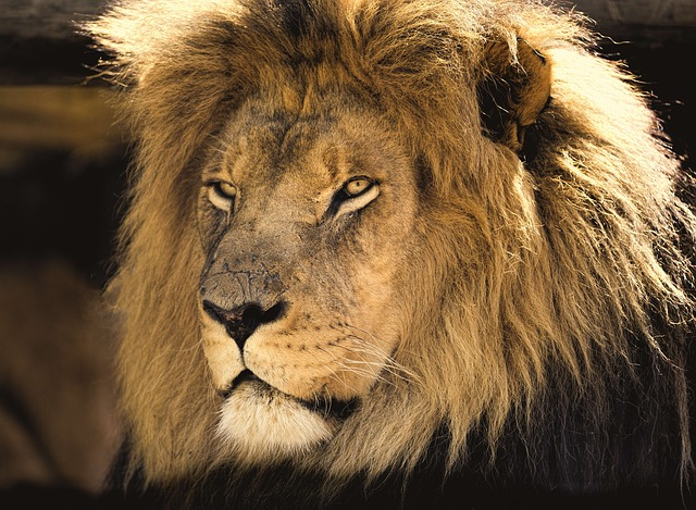 Lion, Male, Africa, Man, Close, Eyes, Scars, Carnivore