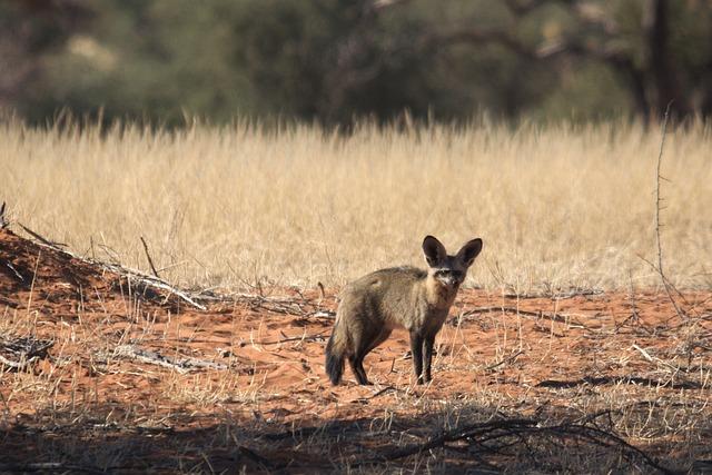 Desert Fox, Fuchs, Africa, Animal