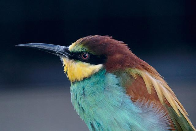 European Bee Eater, Bird, Nature, Plumage, Africa, Bill