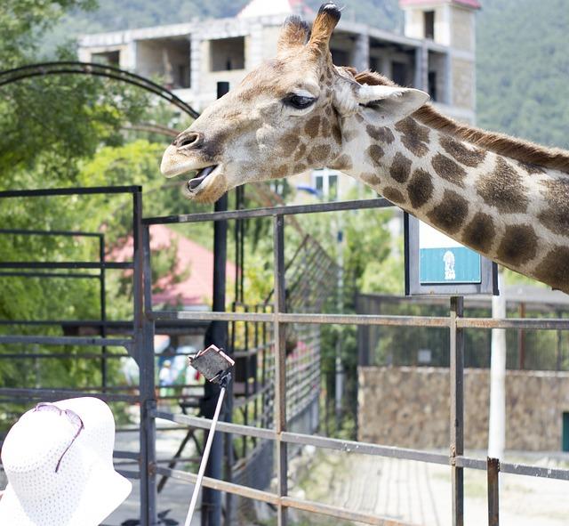 717d17c629852 Free photo Africa Giraffe Nature Zoo Animals Living Nature - Max Pixel