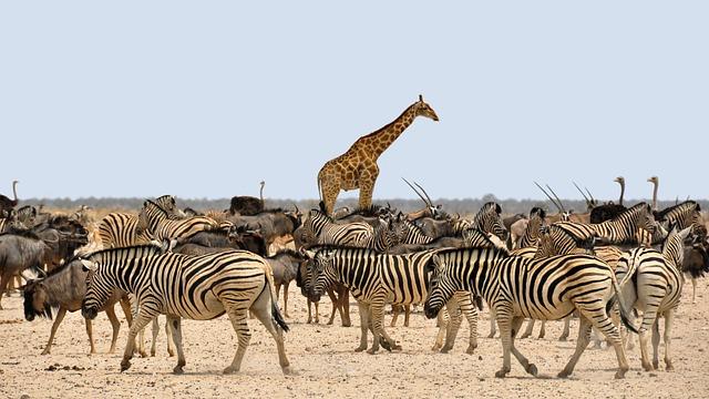 Zebra, Gnu, Giraffe, Africa, Namibia, Nature, Dry