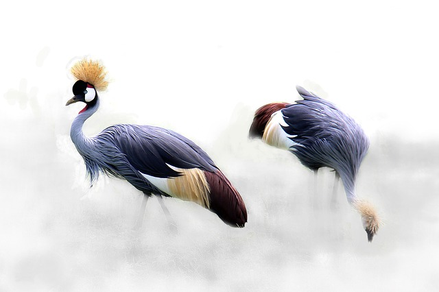 Grey Crowned Crane, Cranes, Bird, Africa, Tanzania