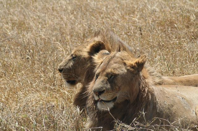 Leon, Lions, Animals, Tanzania, Africa, Wildlife