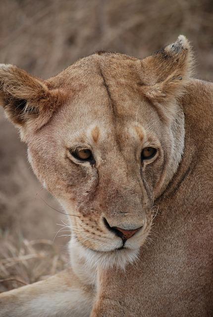 Lion, Predator, Africa, Safari