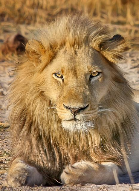 Lion, Safari, Africa, Predator, National Park, Wildcat