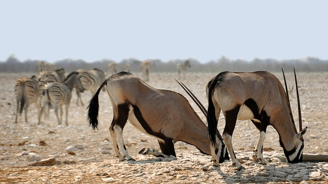 Oryx, Africa, Namibia, Nature, Dry, National Park