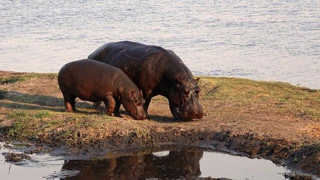Africa, Hippos, Safari, Hippo, Botswana, Nature