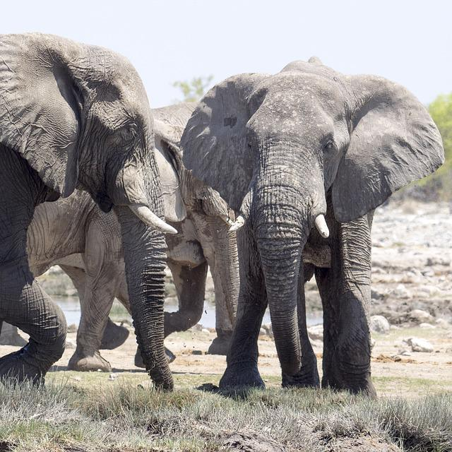 Elephant, Safari, Africa, African Bush Elephant