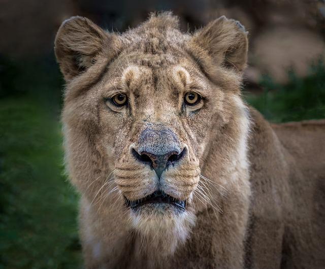Lion, αιλουροϊδές, Sarcophagus, Africa, Leo, Savannah