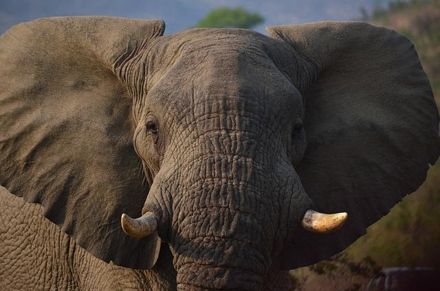 Elephant, Africa, Savannah, South Africa