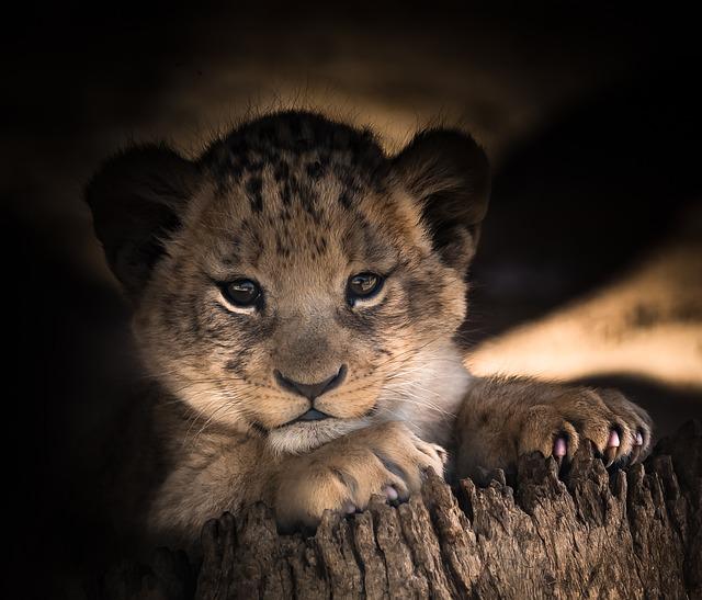 Lion Cub, Cute, Eyes, Smile, Happy, Baby, Leo, Africa