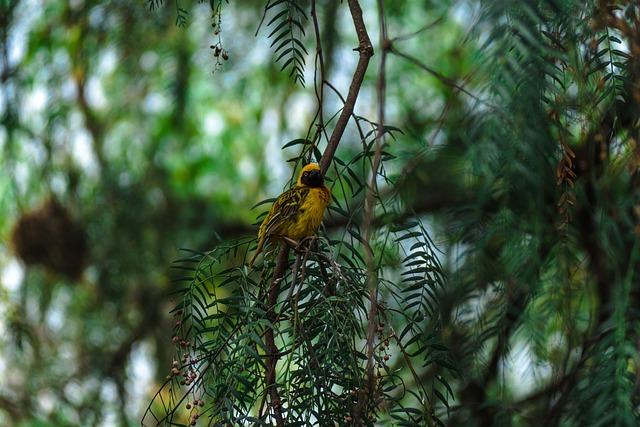 Africa, Safari, Bird, Wildlife, Southern Masked Weaver